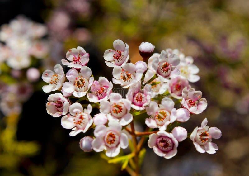 Geraldton waxflower, Geraldton vax arkivfoto