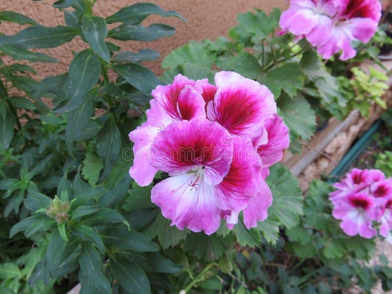 Gerani che fioriscono in vasi immagini stock