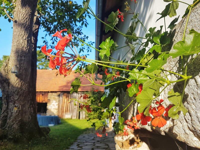 Gerani rossi, giardino domestico fotografie stock