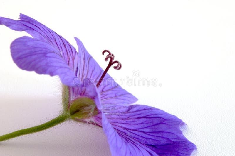 Download Geranio foto de archivo. Imagen de azul, geranio, pink - 182812