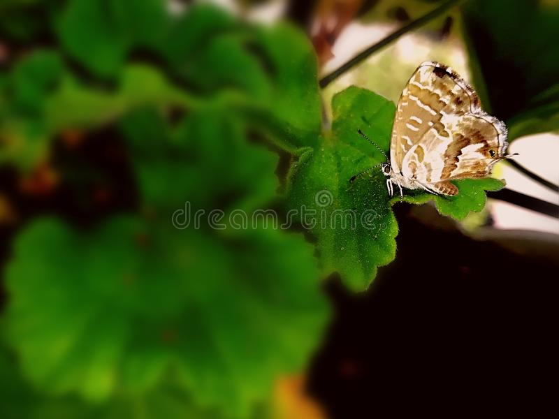 Geranio en vlinder stock foto