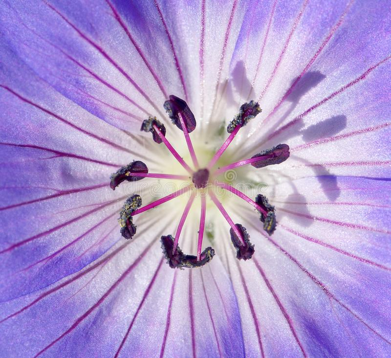 Geranio resistente di macro immagine, pelargonium Estratto fotografia stock libera da diritti