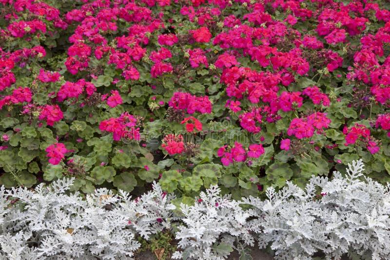 Geranio rosa dei fiori nel telaio completo fotografia stock