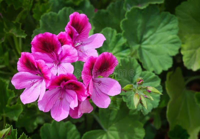 Geranio rosa del pelargonium fotografia stock libera da diritti
