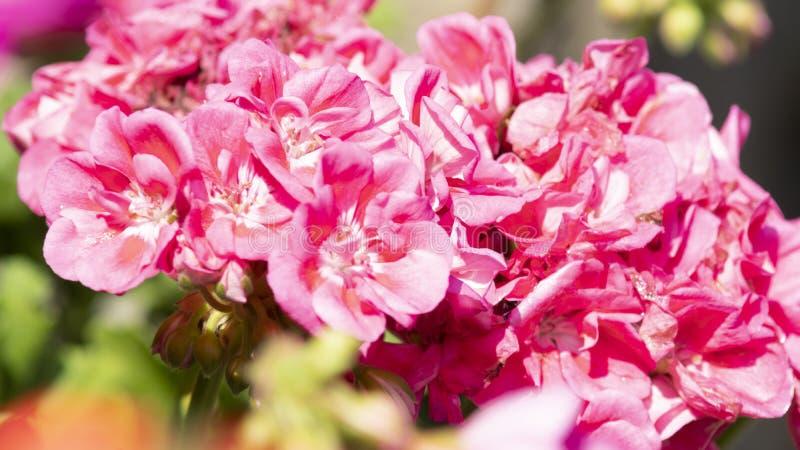 Geranio rosado variado en la floración junio Italia imágenes de archivo libres de regalías