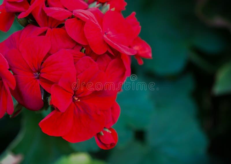 Geranio rosso del pelargonium immagini stock libere da diritti