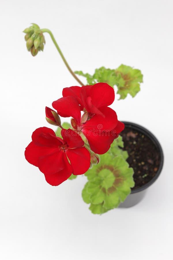 Geranio rosso isolato su fondo bianco pelargonium rosso con le foglie verdi in vasi da vendere Reticolo floreale Priorità bassa d fotografia stock libera da diritti