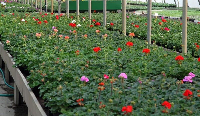 Geranios que florecen en el cuarto de niños del invernadero imagenes de archivo
