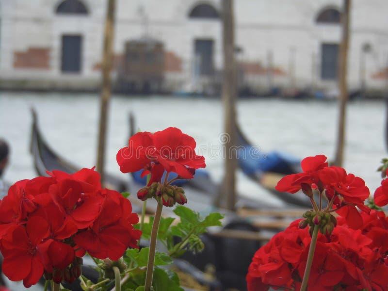 Geranios venecianos foto de archivo
