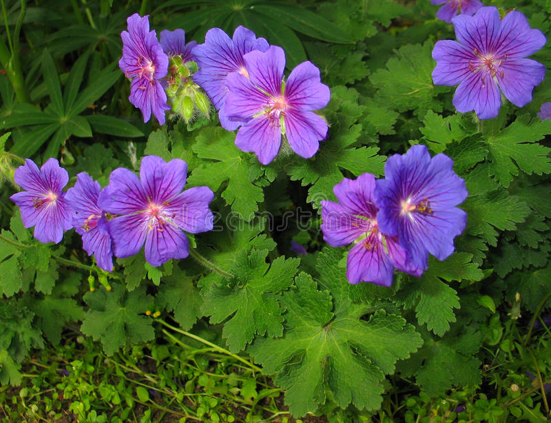 Geranium × magnificum 'Rosemoor'. Dense clusters of saucer shaped, heavily veined rich violet flowers appear among deeply divided, mid-green leaves in one royalty free stock photos
