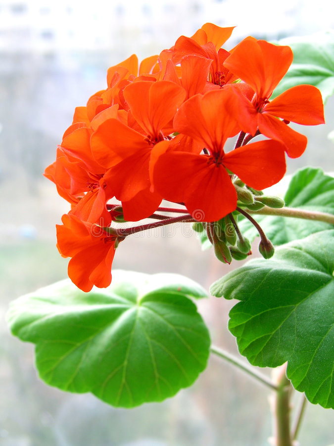 Free Geranium 1 Royalty Free Stock Photo - 160595