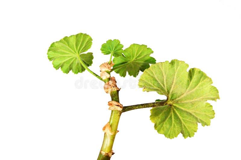 Geranium royalty-vrije stock foto's
