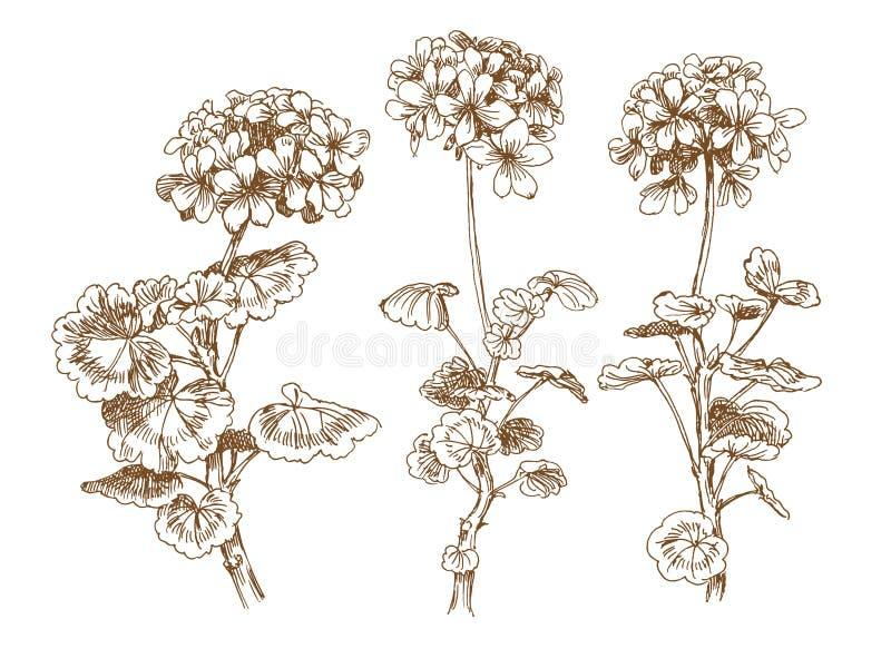 Geranium vector illustratie
