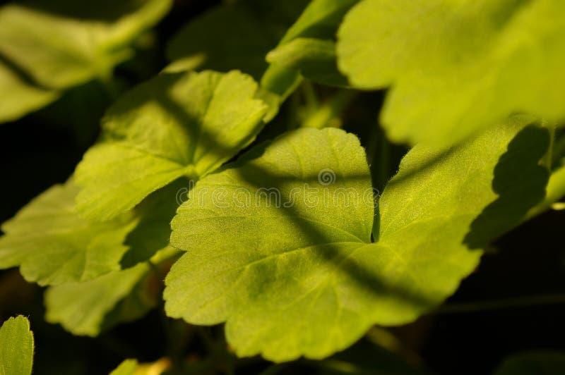 Geranium stock images