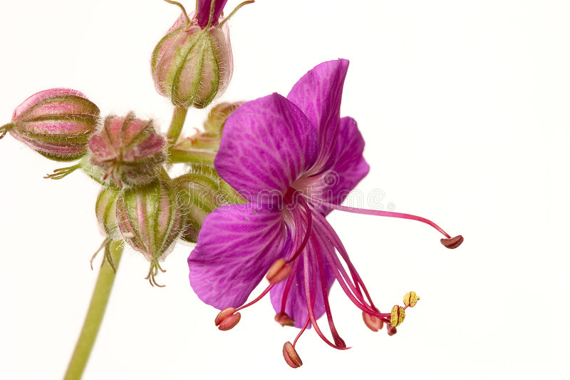 Download Geranium stock photo. Image of colorful, pretty, seeds - 124978