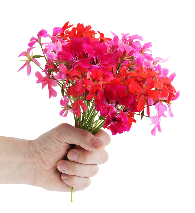 Download Geranium stock image. Image of geranium, gift, flora - 18224671