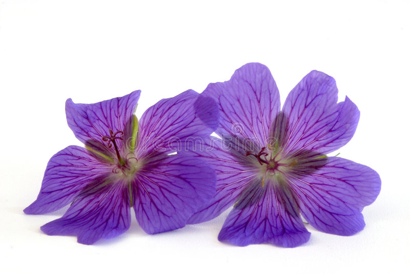 Download Geranium stock image. Image of geranium, blue, blossom - 182811