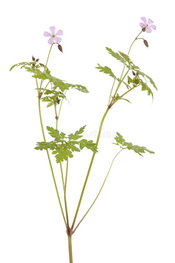 Download Geranium stock image. Image of macro, white, geranium - 24979309