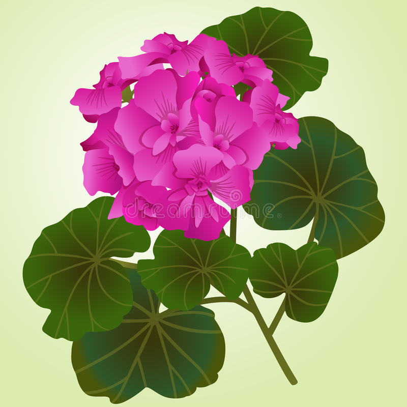Download Geranium stock vector. Illustration of room, stem, spring - 25891248