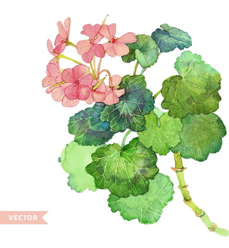 geranium stock foto's