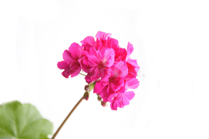 Download Geranium stock image. Image of white, sill, background - 7991397