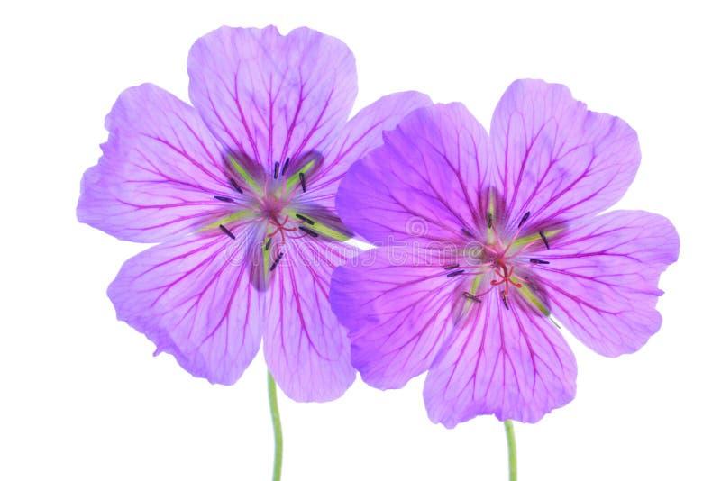 Geranium stock afbeeldingen