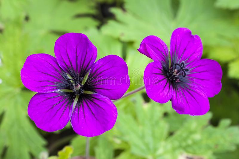 Geranium `Ann Folkard`. A magenta herbaceous springtime summer flower plant commonly known as cranesbill royalty free stock image