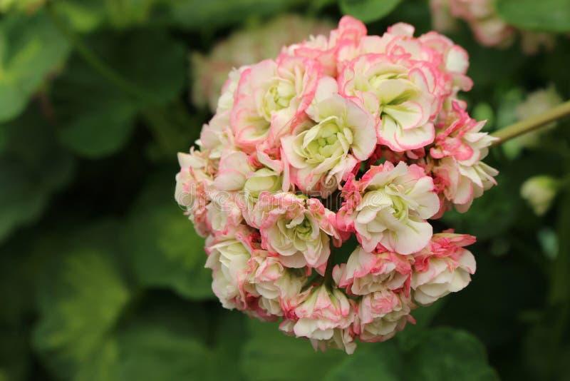 Geranium Apple Blossom Rosebud. Closeup of blooming pelargonium. Geranium Apple Blossom Rosebud. Closeup of blooming light pink pelargonium stock image