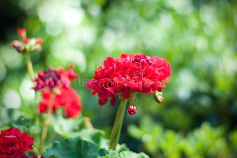 Geranium in de botanische tuin stock afbeeldingen