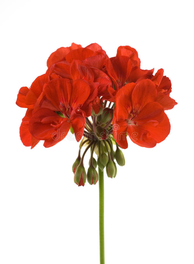 Geranium flower. One red geranium flower isolated royalty free stock images