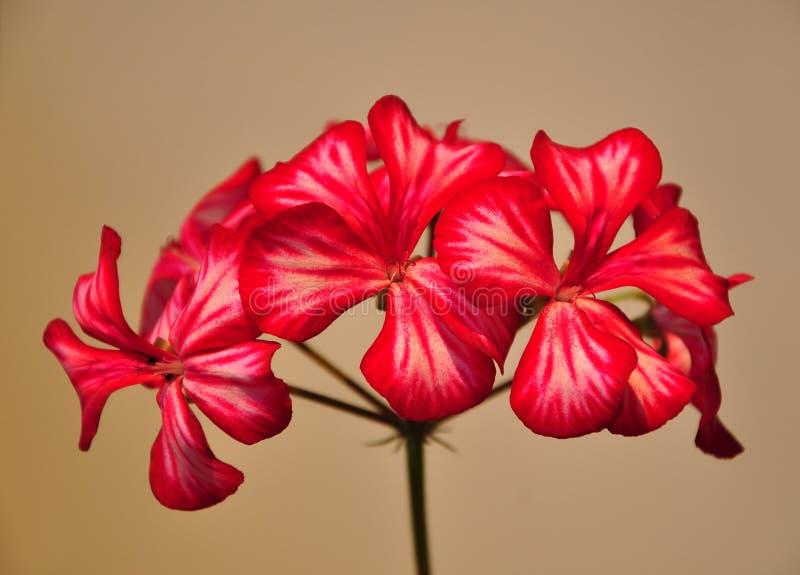 Download Geranium flower stock photo. Image of white, smooth, petals - 10726680