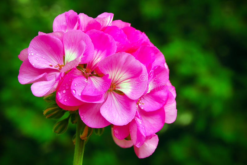 Geranium flower. With dew drops stock images