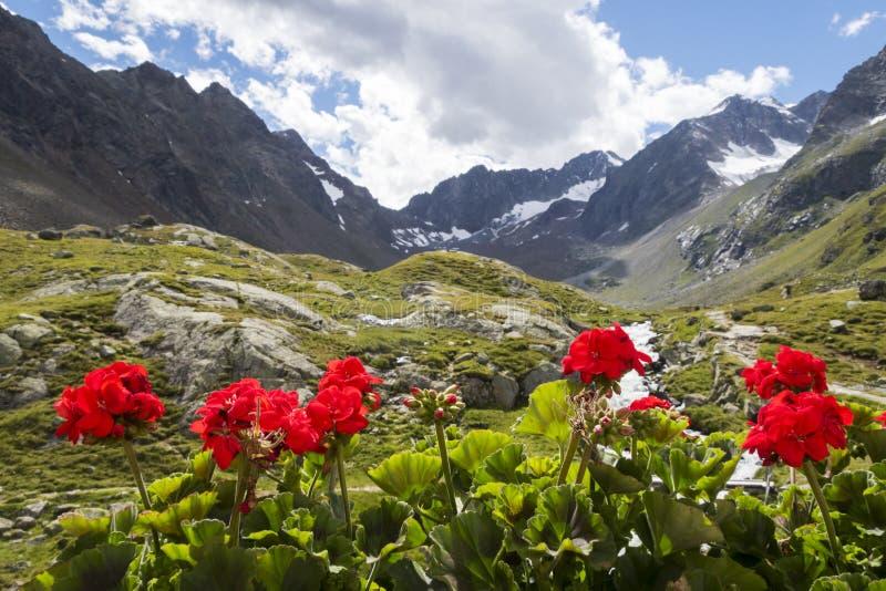 Download Geranium stock photo. Image of geraniums, glass, alpine - 78631008