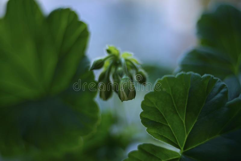 Geranium flower close-up green color blur background spring. Green leaves geranium close-up blur background beautiful nature stock photography