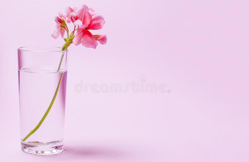 A geranium flower of coral color stands in a glass beaker with clear water against a background of a delicate coral color. Close-up nature beauty leaf white stock images