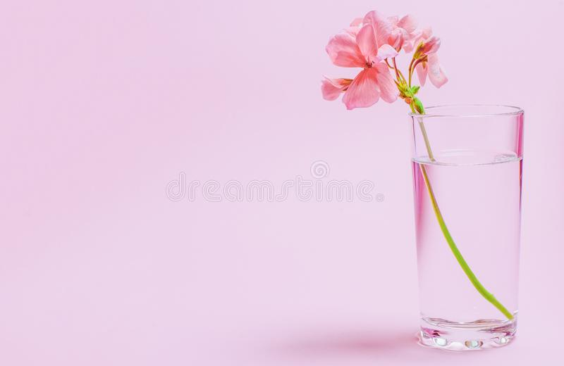 A geranium flower of coral color stands in a glass beaker with clear water against a background of a delicate coral color. Close-up nature beauty leaf white stock image