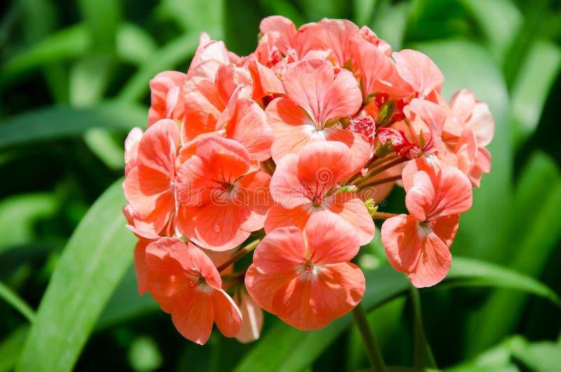 Geranium. Flower in the garden stock photo