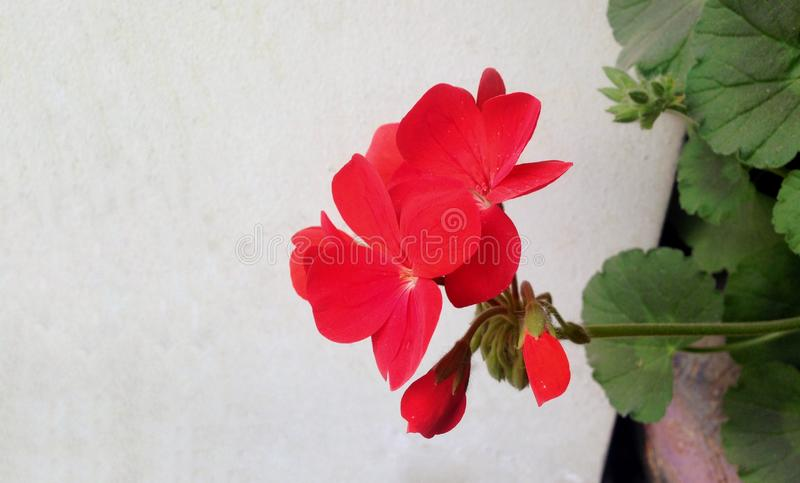 Geranium flower on a light leafs background. Geranium flower on a light background, wallpaper stock image