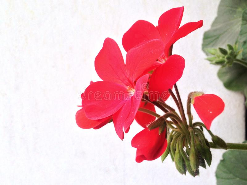 Geranium flower on a light leafs background. Geranium flower on a light background, wallpaper royalty free stock images
