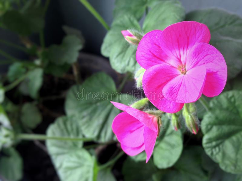 Geranium flower on a light leafs background. Geranium flower on a light background, wallpaper stock images