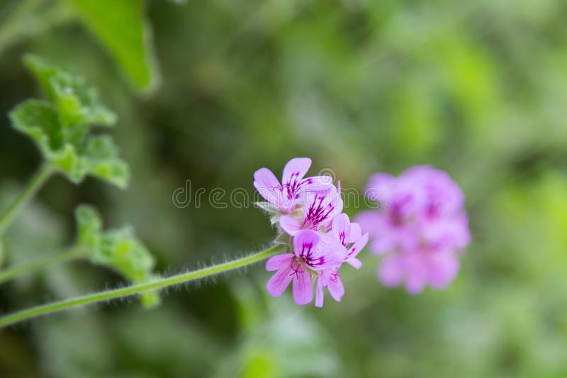 Geranium flower on plant in garden. Geranium fresh flower on plant in garden in sunny day stock photo