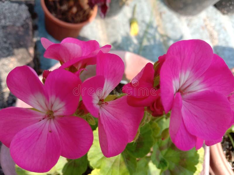 Geranium flower plant in grow terrace gardening in Kanpur. Beautiful flower plant pink geranium in pot terrace garden Kanpur in India stock image