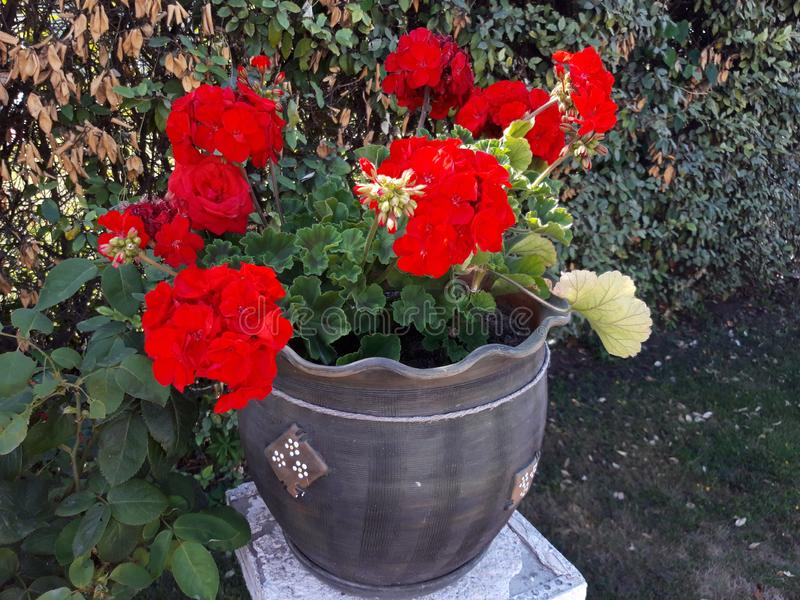 Geranium flower pot in the garden. Red, beauty, pelargonium, blossom, flowers, floral, fresh, leaf stock image