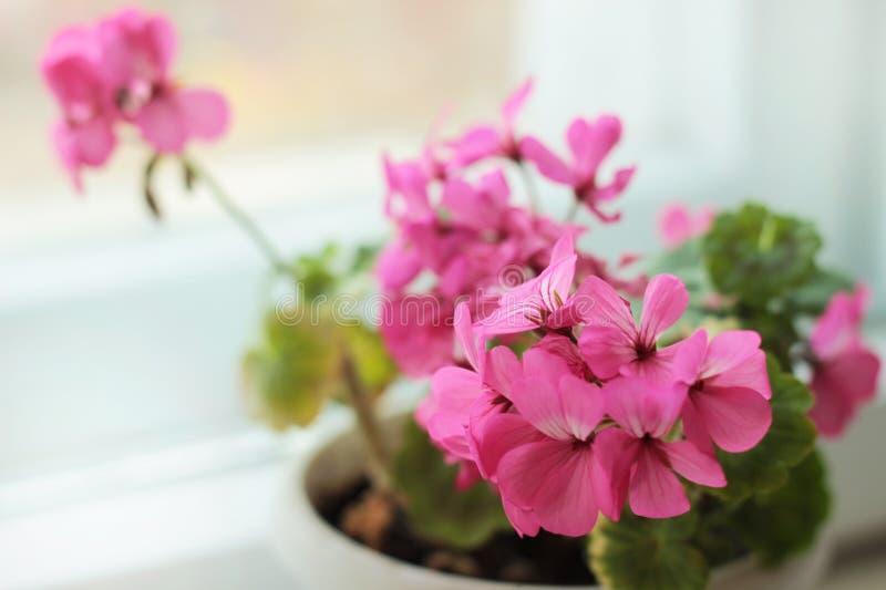 Geranium flower. Spring pink blooming geranium plant stock images