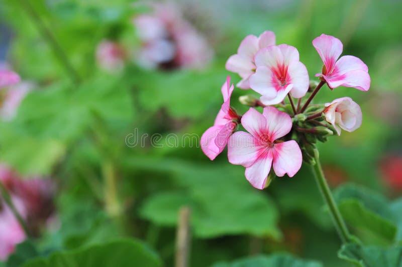 Geranium flowers stock photography