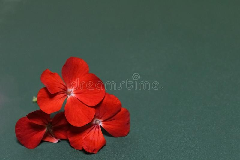 The geranium flowers stock images