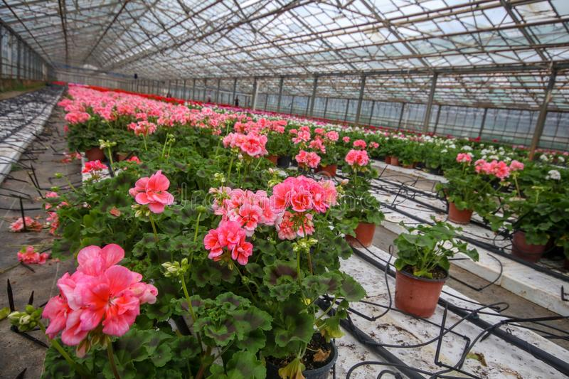 Geranium flowers in garden, greenhouse. Colorful flowers.  royalty free stock images