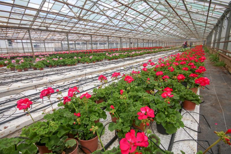 Geranium flowers in garden, greenhouse. Colorful flowers.  stock image