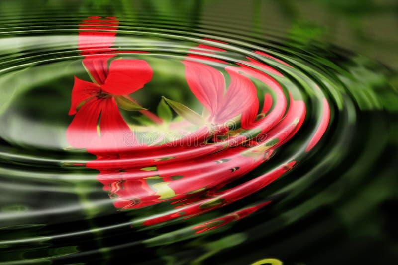 Geranium flowers and ripples royalty free stock photos