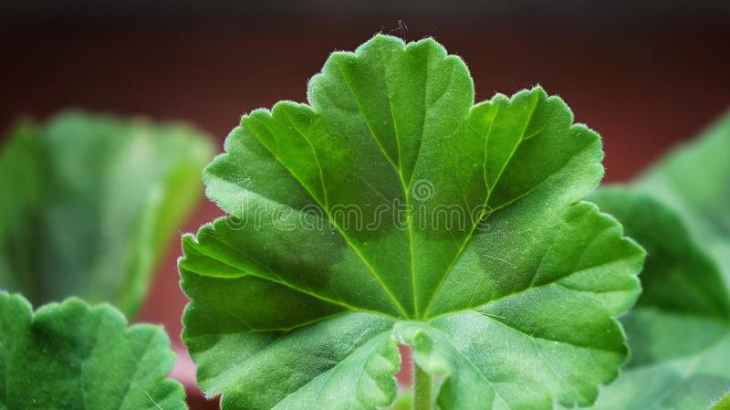 Geranium leaf stock photo